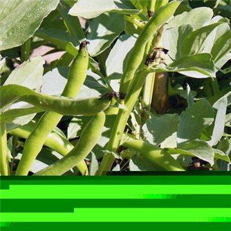 Aguadulce bean seeds