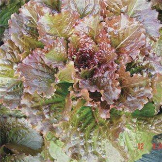 Integrata Red2 Romaine Lettuce Seeds